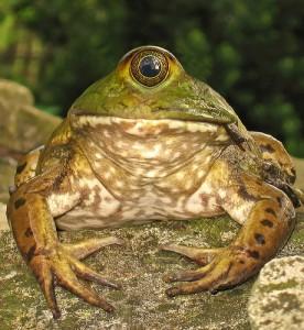 一つ目の蛙