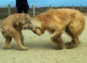 犬同士が戦う