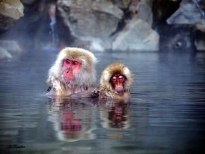 温泉に浸かる2匹の猿