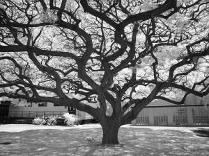 白黒写真の木