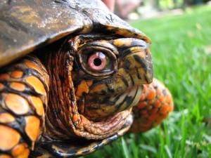 亀の顔をアップ。ビックリしたように目を見開く