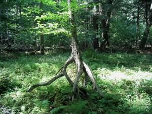 木の化け物のように根が交差する木