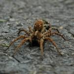 道路を歩く茶色の蜘蛛
