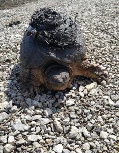 砂利の上にいる大きな亀