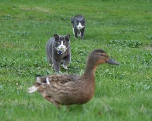 鴨とそれを狙う二匹の猫