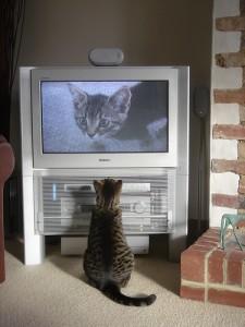 テレビに映る猫を見る猫