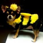 黄色と黒のストライプでハチ風の服を着たチワワ