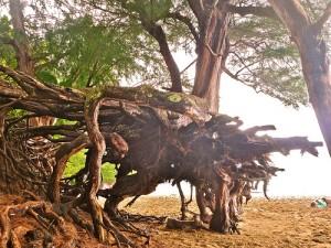 大きな木が横たわる