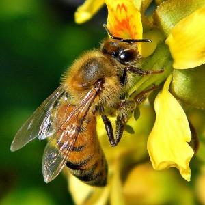 花の蜜を吸う一匹のハチ
